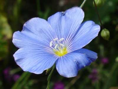 Fleur_lin